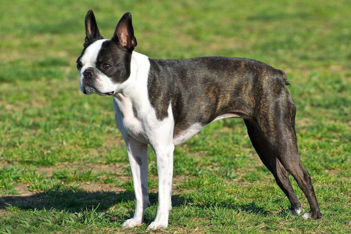 boston terrier 11
