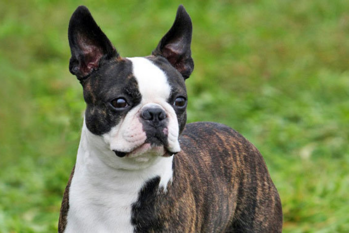 boston terrier 6