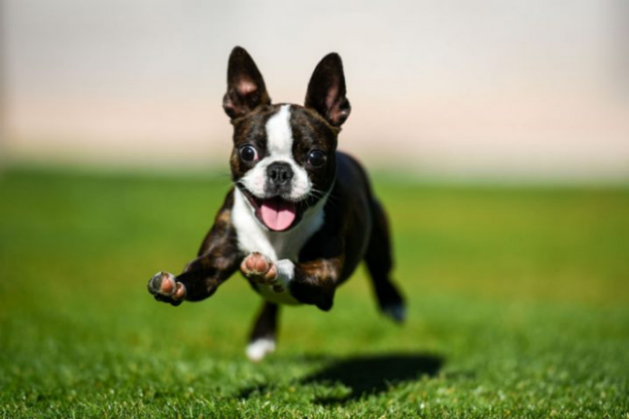 boston terrier 8