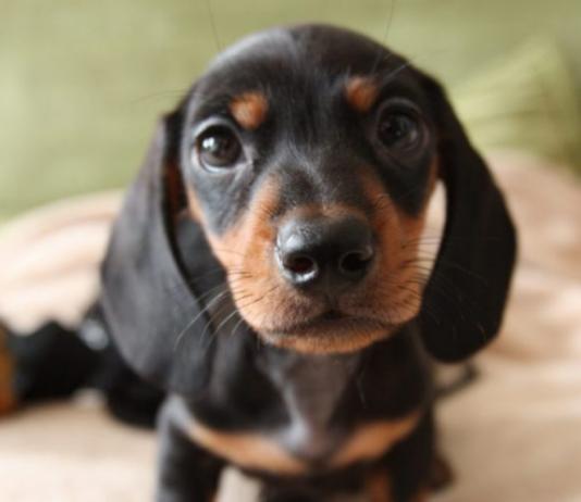 filhote de dachshund (5)