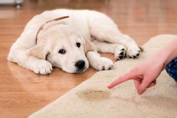 como adestrar um cachorro filhote