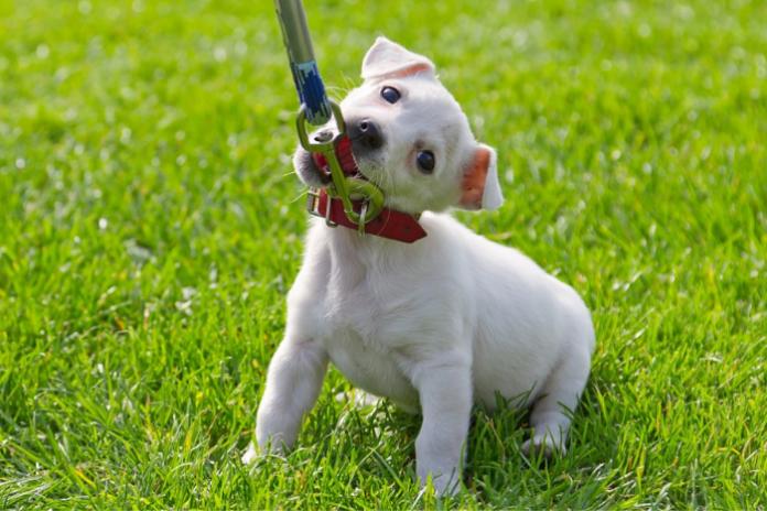 como adestrar um cachorro filhote (3)